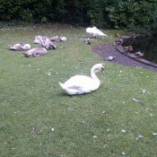 Swans at Saint Stephens Green