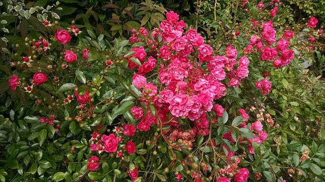 Pink baby roses at Avoca Handweavers